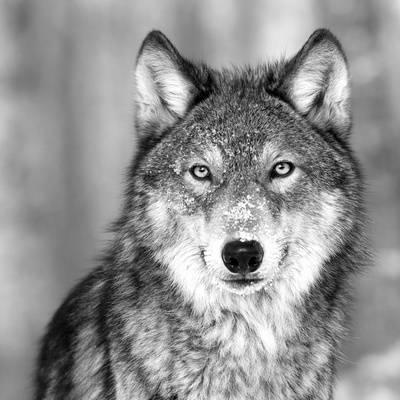 Profile photo of LegendOfTheWolf